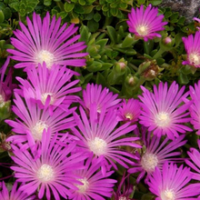 Load image into Gallery viewer, Delosperma, Ice Plant (Perennial)