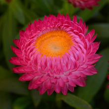 Load image into Gallery viewer, Strawflower