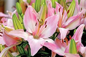 Lily, Asiatic (Perennial)