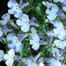 Load image into Gallery viewer, Lobelia