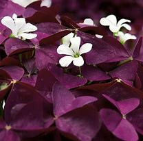 Load image into Gallery viewer, Oxalis Charmed Wine