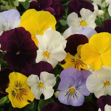 Load image into Gallery viewer, Pansy Basket