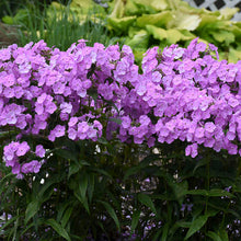 Load image into Gallery viewer, Phlox, Upright (Perennial)