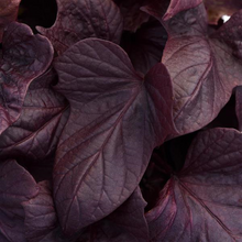 Load image into Gallery viewer, Sweet Potato Vine