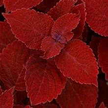 Load image into Gallery viewer, Coleus