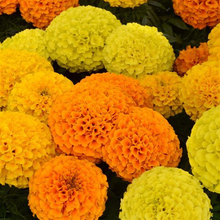 Load image into Gallery viewer, Marigold, Tall
