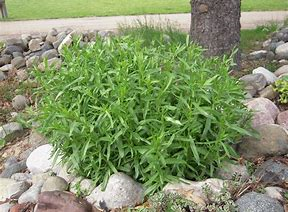 Tarragon, French