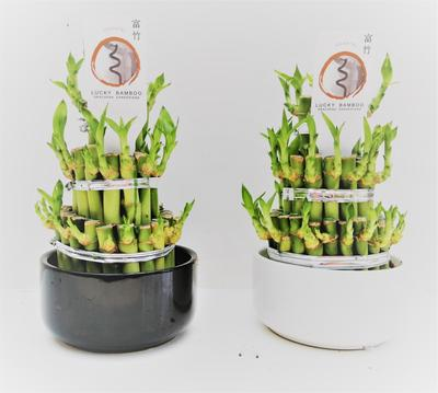 Lucky bamboo potted dracaena by Simona Flowers