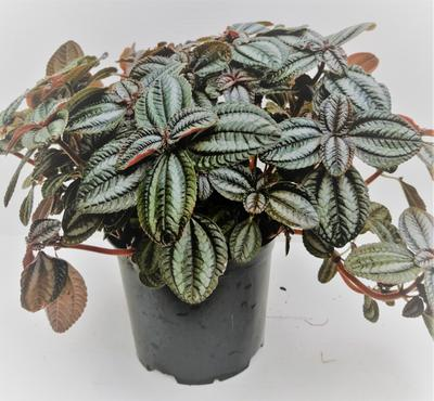 Red ripple peperomia by Simona Flowers