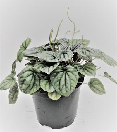 Silver leaf peperomia griseoargentea by Simona Flowers