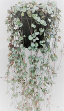 String of hearts - Ceropegia Woodii by Simona Flowers