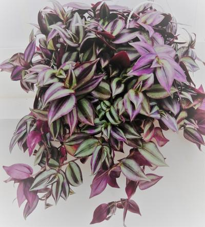 Wandering Jew (purple)  - Tradescantia zebrina by Simona Flowers