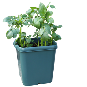 Potato Gro-Pot (3)