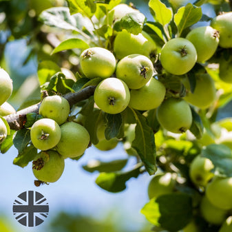 Image with UK grown apples growing on tree. UK icon in the bottom left corner.