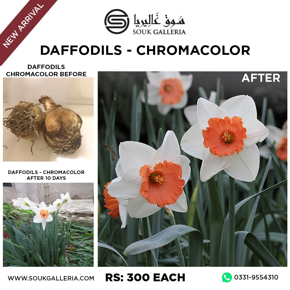 DAFFODILS CHROMACOLOR