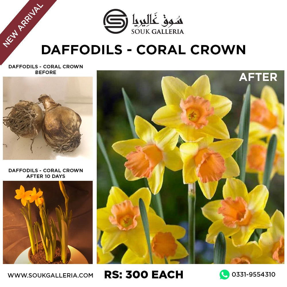 DAFFODILS CORAL CROWN