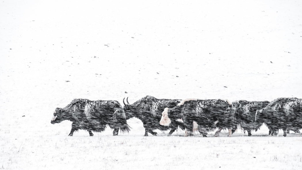 Blizzard Yaks - Kurt Vandeweerdt Photography