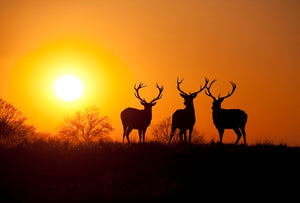 Stags at Sunset