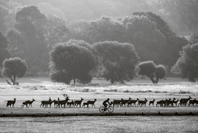 Deer Herd and Cyclist at Dawn, Richmond Park