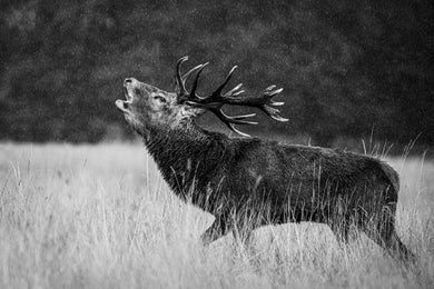 Red Deer Stag Bellowing in the Rain, Richmond Park
