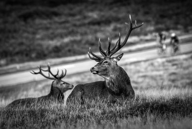 Stags and Cyclists, Richmond Park
