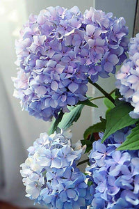 Happily Hydrangea Paint By Number