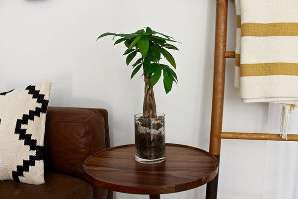 Money tree pot en verre Plantzy
