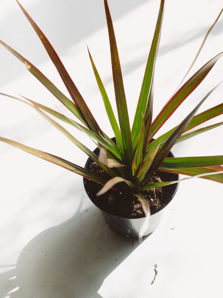 SMALL TROPICAL PLANT - DRACAENA MARGINATA
