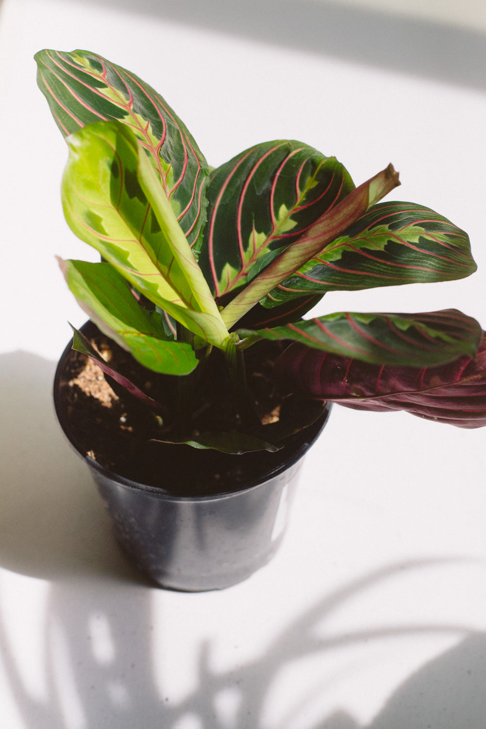 SMALL TROPICAL PLANT - MARANTA
