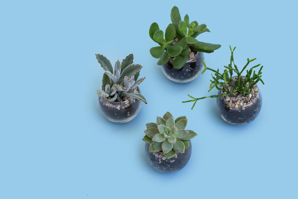 CACTI AND SUCCULENT QUARTET