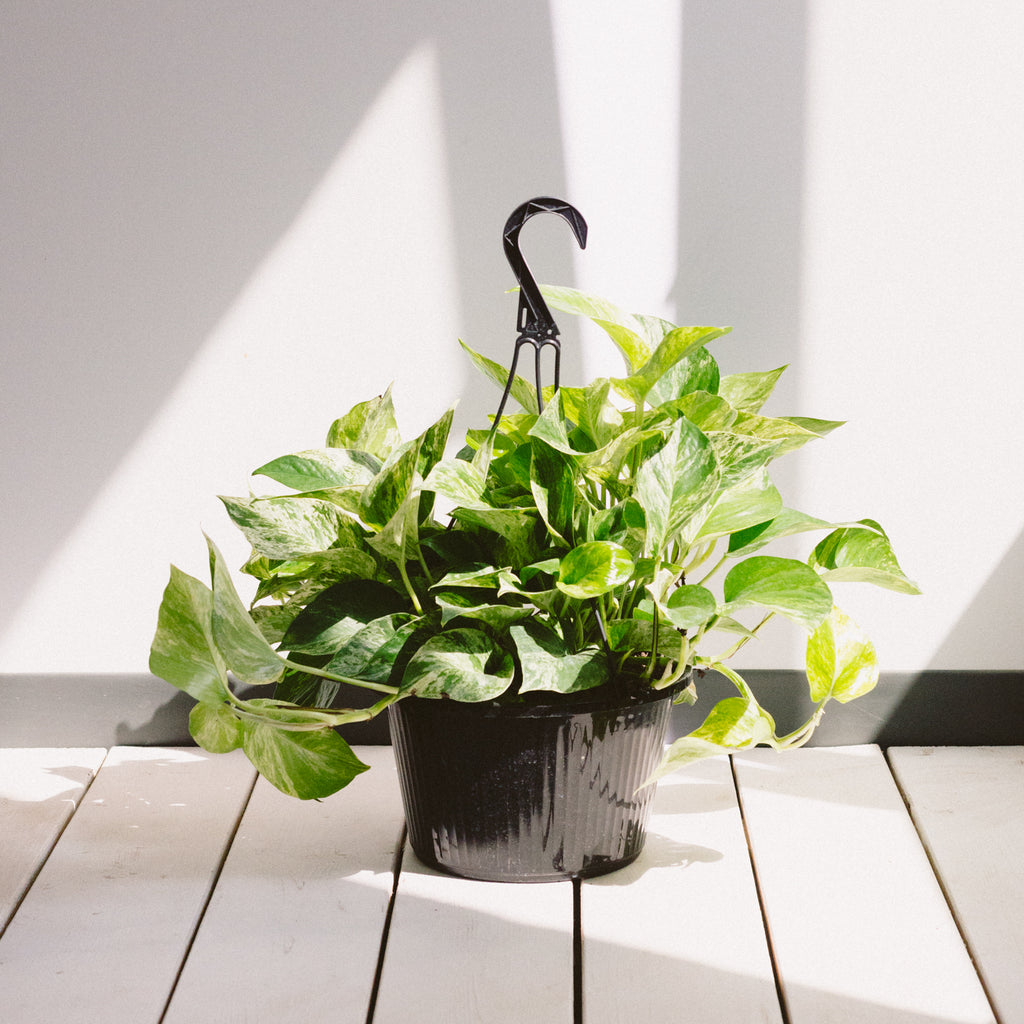 HANGING MARBLE POTHOS