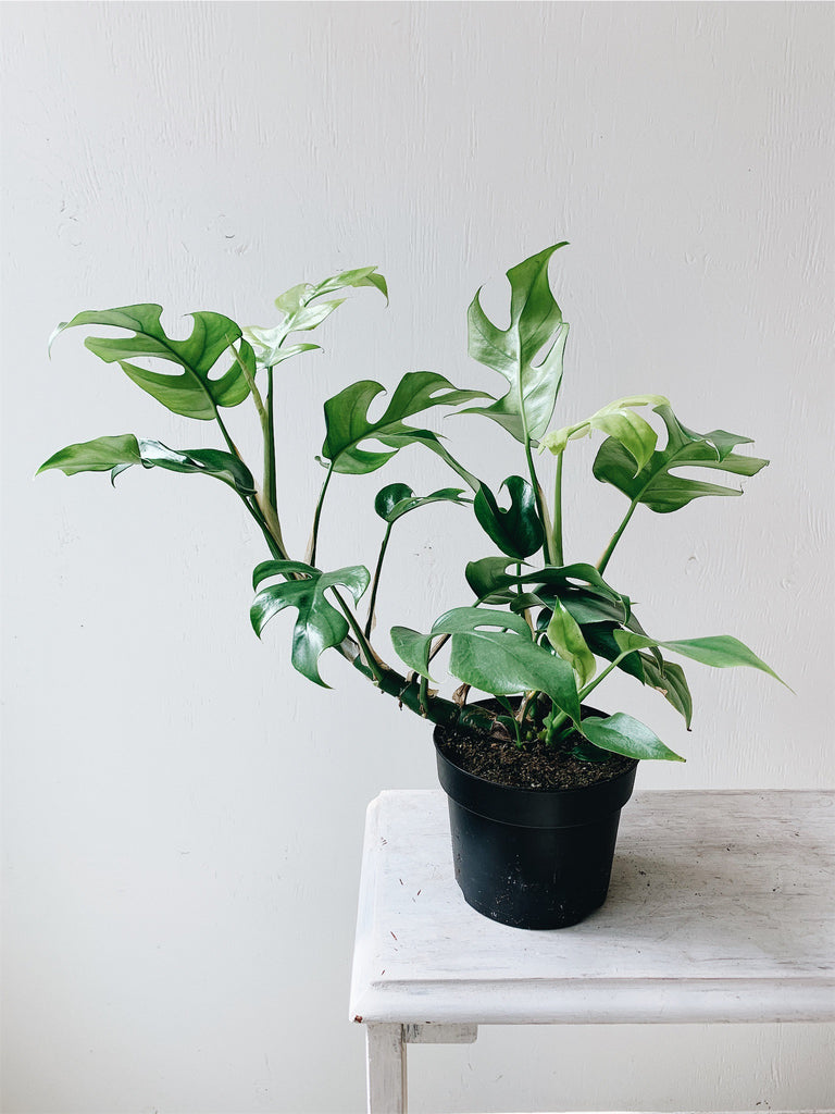 "Rhaphidophora Tetrasperma 5"" (Mini Monstera Ginny)"