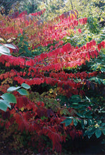 Load image into Gallery viewer, Maries Doublefile Viburnum in fall