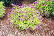 Load image into Gallery viewer, Goldmound Spirea in bloom