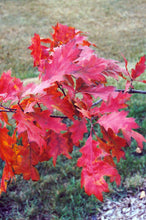 Load image into Gallery viewer, Red Oak in fall