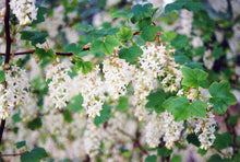 Load image into Gallery viewer, Henry Henneman Winter Currant flowers
