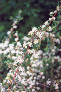Bearberry Cotoneaster flowers