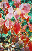Load image into Gallery viewer, Jelena Witchhazel in fall