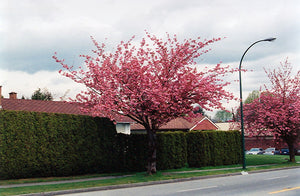 Kwanzan Flowering Cherry in bloom