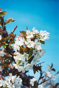 Bing Cherry flowers