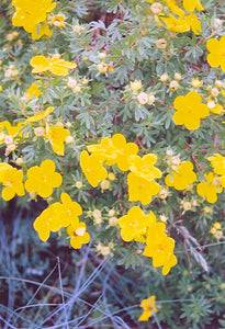 Goldfinger Potentilla flowers