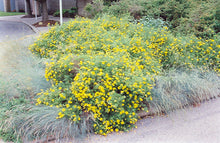 Load image into Gallery viewer, Goldfinger Potentilla in bloom