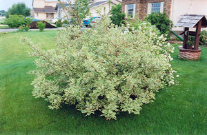 Silver Variegated Dogwood