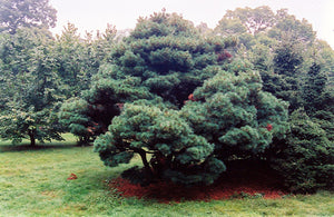 Umbrella White Pine
