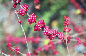 Coralberry fruit