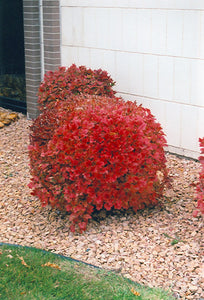 Bailey Compact Highbush Cranberry in fall