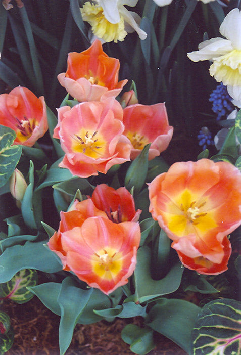 Apricot Beauty Tulip flowers
