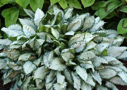 Moonshine Lungwort foliage