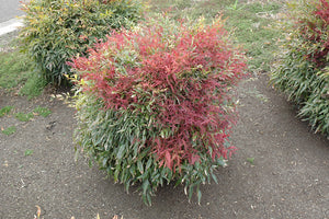 All-A-Glow™ Dwarf Nandina
