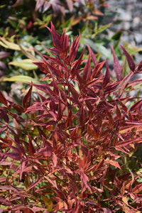 All-A-Glow™ Dwarf Nandina foliage